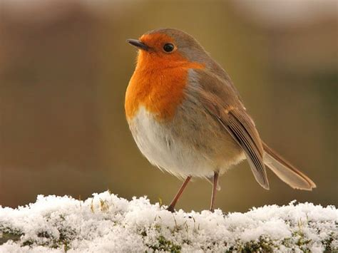 a robin redbreast in the snow r 248 dk 230 lk r 248 dhals bird