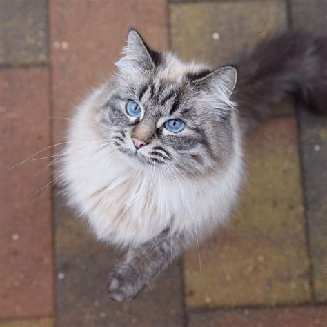 Green Gray by 10 Cute Maine Coon Cats And Kittens