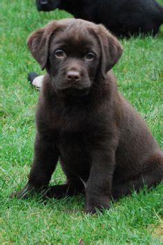 chocolate lab puppies ohio chocolate labs labs and lab puppies on