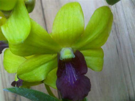Tanaman Hias Bunga Hias 3 tanaman anggrek dendrobium 3 jual tanaman hias