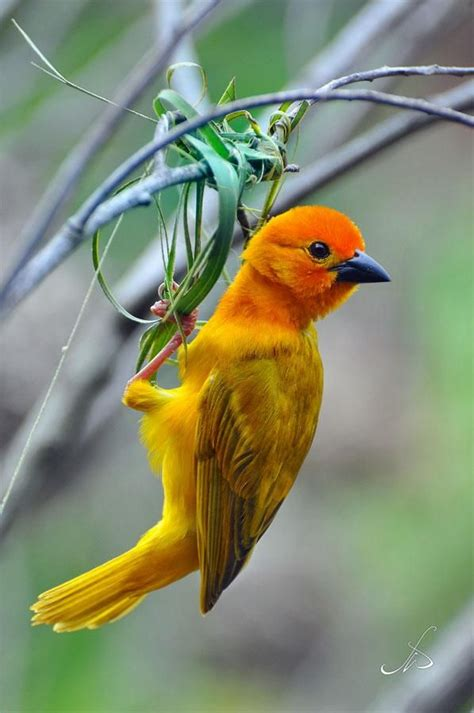 weaver bird les beaux oiseaux pinterest