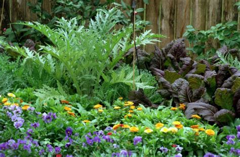 Houston Plant And Garden by All About The Artichoke Like Cardoon Houston Chronicle
