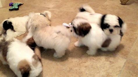 shih tzu rescue nm my mal shi maltese and shih tzu mix and shih tzu puppies like
