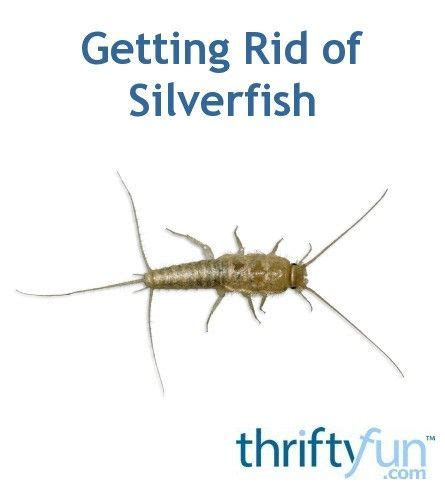 how do i get rid of silverfish in my bathroom 25 best ideas about silverfish on pinterest spider