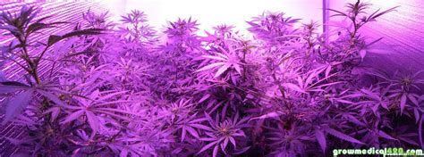 purple light plant growth led grow light review may 2013 pro grow 550 journal with