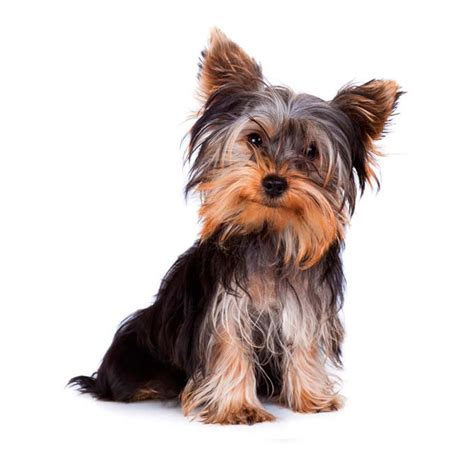 teacup yorkie characteristics haircut styles for boy yorkies blackhairstylecuts