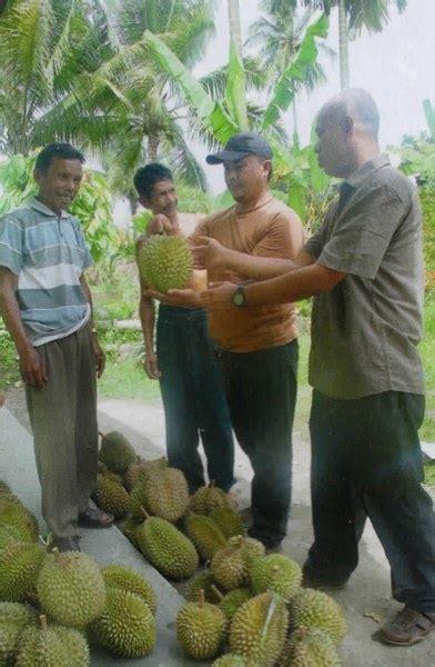 berburu durian super  tanah minang budidaya tani