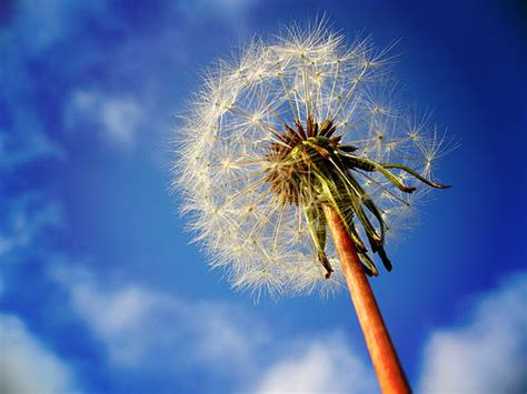 beautiful flowers dandelion flowers pictures meanings