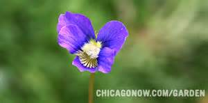 state flower of illinois the state flower of illinois chicago garden