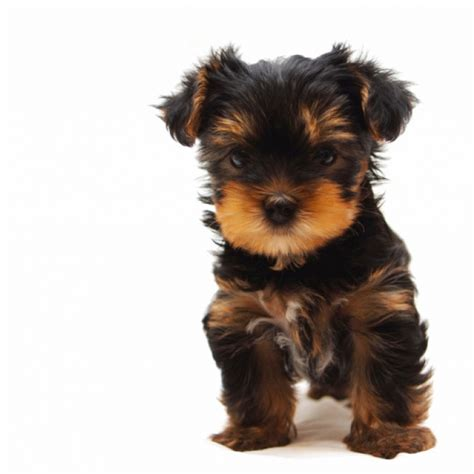 yorkie breed terrier puppy terrier breed information