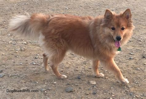 shetland sheepdog pomeranian mix sheltie pomeranian mix www imgkid the image kid has it