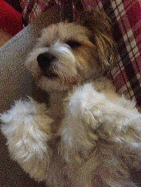 haircuts for tibetan terriers 17 best images about tibetan terriers on pinterest close