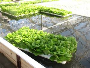 Hydroponic lettuce is being grown at maple lane farm in a facility