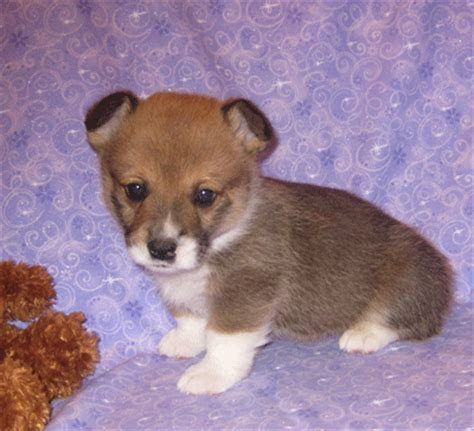 corgi puppies for sale oklahoma pembroke corgi breeders in oklahoma breeds picture