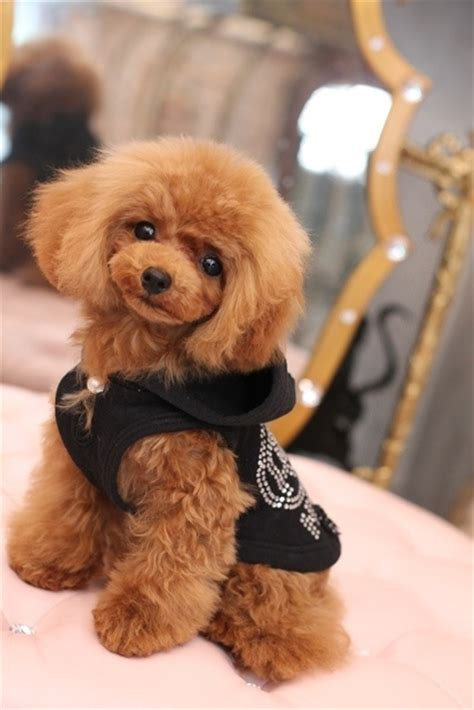 french poodle cuts 376 best images about japanese poodle style on pinterest