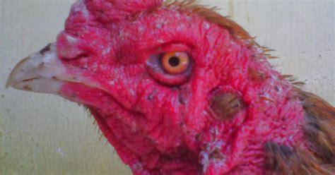 Jual Anakan Ayam Bangkok Palembang jual ayam bangkok murah dan berkualitas si dazzal terjual ke palembang