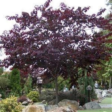 buy forest pansy redbud tree from ty ty nursery