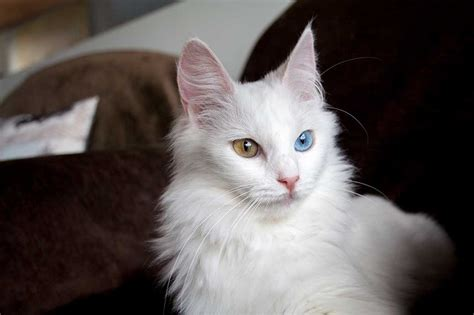 imagenes de amor xexi gato blanco de ojos bicolor angoras turcos ankara keriz