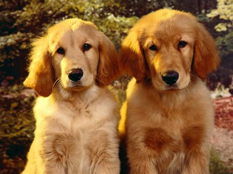 cool puppies puppies cool golden 180810