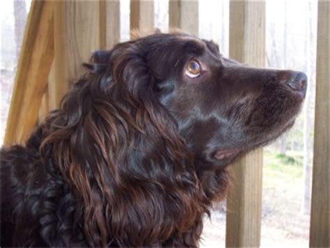 boykin spaniel puppies for sale in nc bloodhound breeders in carolina bloodhound puppies for breeds picture