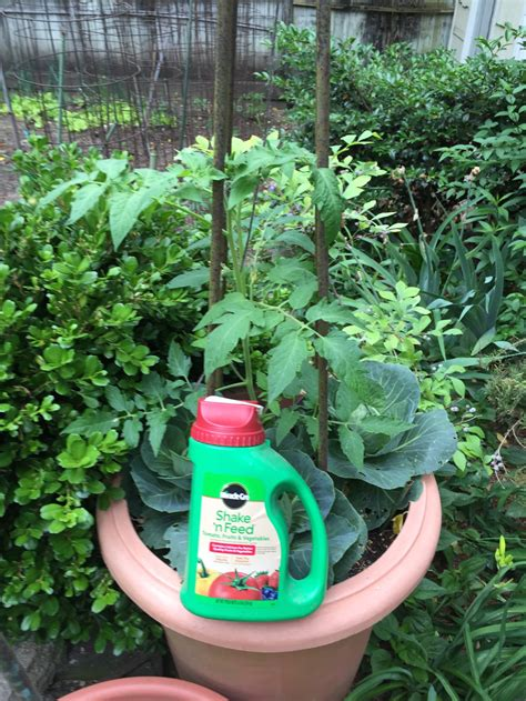 Patio Tomato Plant Care by Tomato Plant Care And Feeding Birmingham Gardening Today
