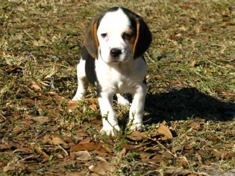 puppies for sale columbus ga stunning tri color beagle puppies for sale near atlanta at atlanta columbus