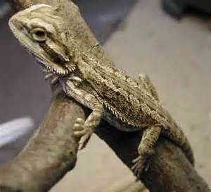 lizards orlando pet services