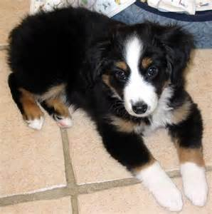 tri colored australian shepherd tri color aussie mix likely reply 6