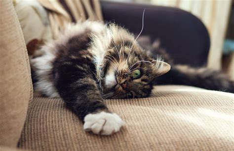 how to stop cat from scratching sofa how to stop your cat from scratching up your furniture