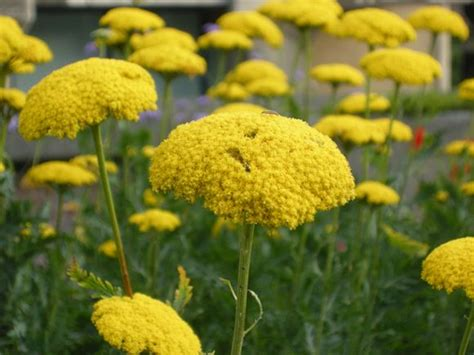 Md Maruna yarrow cloth of gold our plants kaw valley greenhouses