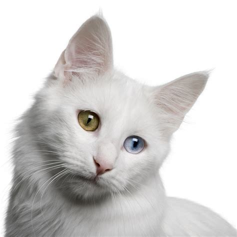 Turkish Angora   Information, Health, Pictures & Training