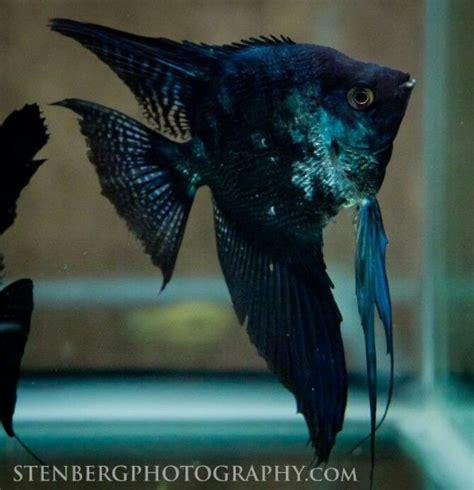 Tropical Fish Marble blue marble paraiba angelfish angelfish