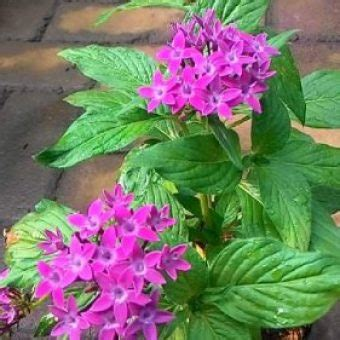 tanaman pentas purple compact bibitbungacom