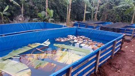 Jual Kolam Terpal Gurame bisnis budidaya ikan lele di kolam terpal waralaba kan