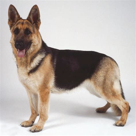 german dogs german shepherd history