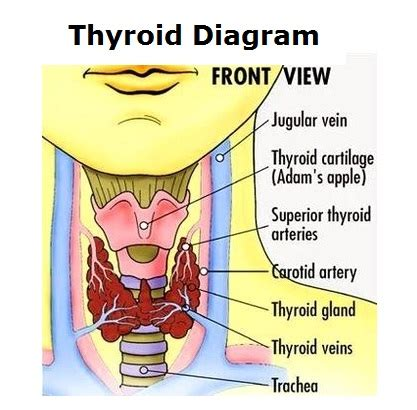 thyroid gland diagram diagram of thyroid charts