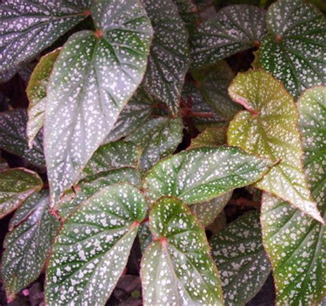 kartuz greenhouses begonia silver darling