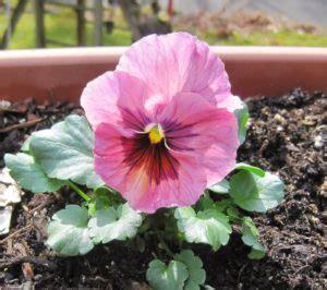 Benih Biji Bunga Geranium Perenial pansy pink 10 biji tamanbenih tamanbenih