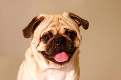 living with a pug pug breed information on pugs