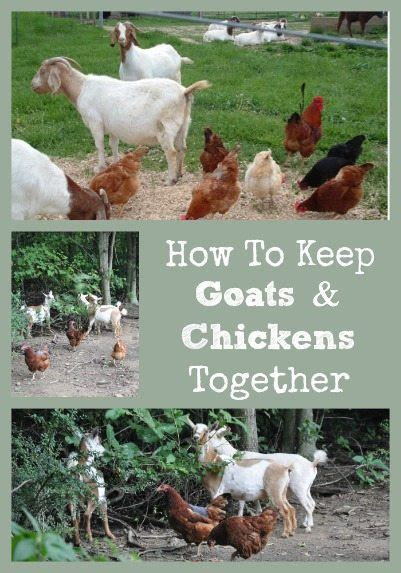 how to have chickens in your backyard intricacies keeping goats chickens yard