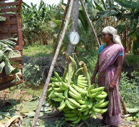 Bananas On Tree by Ngo News Blog Newsline Kalanjium Produces Organic
