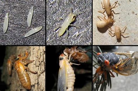 cicada news facts lifecycle sounds cicada mania