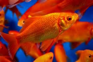 Feeder Goldfish For Sale feeder goldfish for sale
