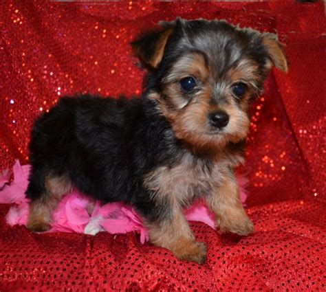 yorkies up for adoption teacup yorkie puppies for adoption
