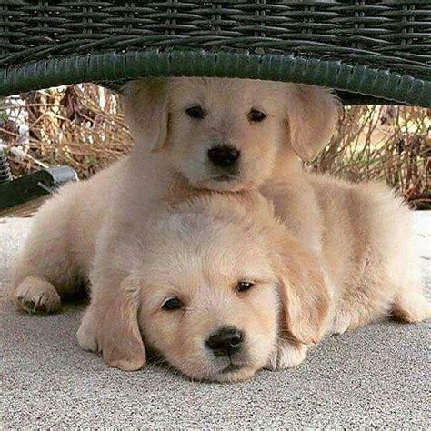 golden retriever puppies alaska 1467 best images about golden retriever names on golden retrievers