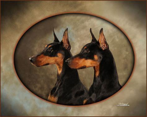 doberman puppies wisconsin element dobermans breeder of quality dobermans puppies in wisconsin