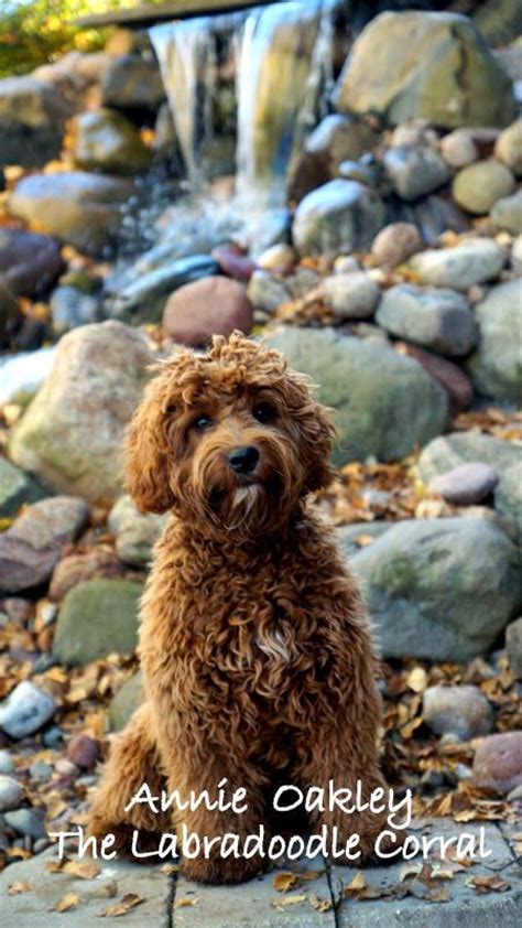 labradoodle puppies wisconsin labradoodle breeder wisconsin puppy adoption middleton guardianship