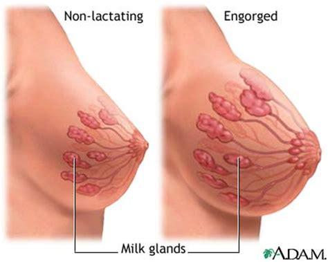 Mammary Glands Breast Rnpedia