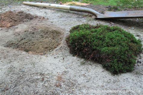 transplanting polytrichum and atrichum mosses moss and stone gardens