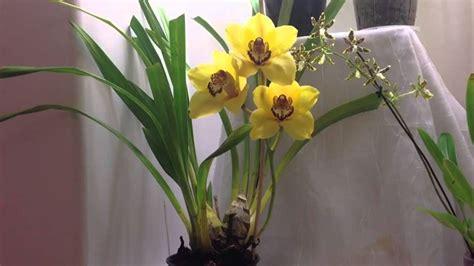cura orchidee in vaso orchidee cymbidium cura orchidea coltivazione orchidea